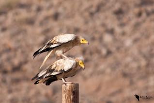 Dögkeselyű, Egyptian Vulture (Neophron percnopterus)