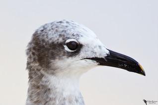 Laughing gull(Leucophaeus atricilla)