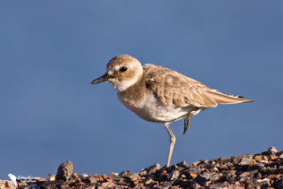 Sivatagi lile, Great Sand Plover (Charadrius Leschenaultii)