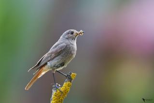 Házi rozsdafarkú, Black Redstart (Phoenicurus ochruros)