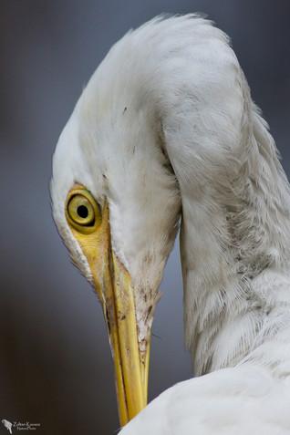 Pásztorgém, Cattle egret(Bubulcus ibis)