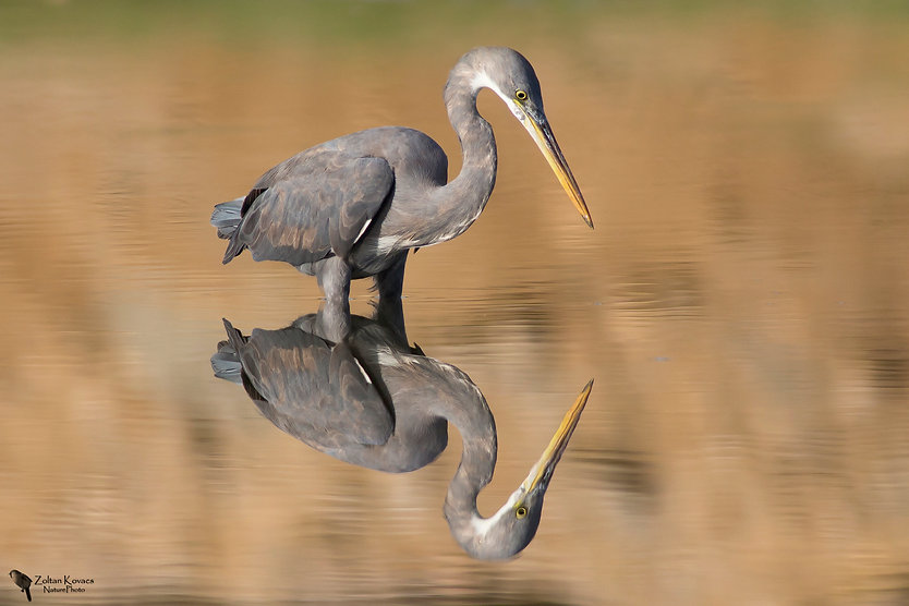 Oman_Western_Reef_Heron_A3.jpg