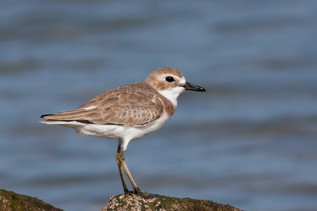 Sivatagi lile, Greater Sand Plover (Charadrius leschenaultii)