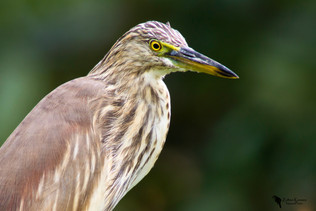Indiai üstökösgém, Indian Pond Heron (Ardeola grayii)