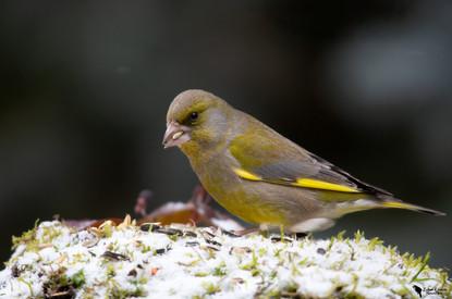 Zöldike, European greenfinch,(Carduelis chloris)