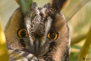 Erdei fülesbagoly, Long-eared owl(Asio otus)