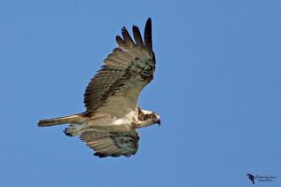 Halászsas, Osprey (Pandion halieatus)