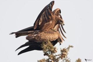 Barna kánya, Black Kite (Milvus migrans)