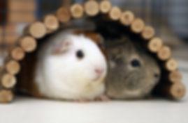 guinea pigs_edited.jpg