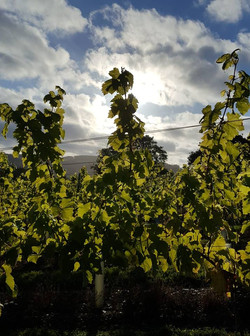 silhouetted vines