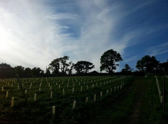 vineyard with tree silhoutte.jpg