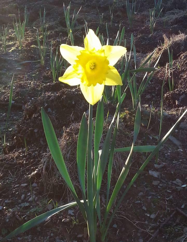 daffodil in sun.jpg