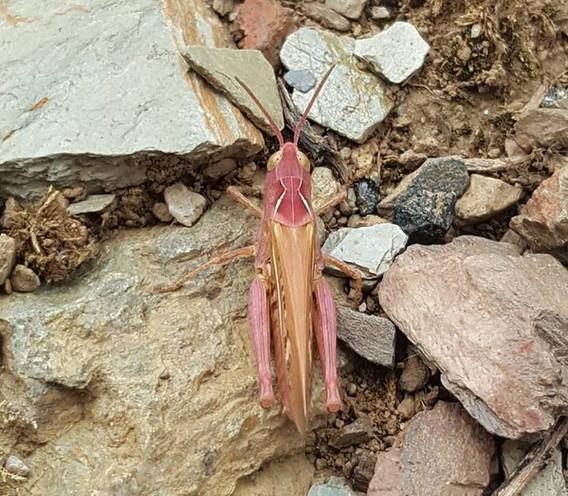 pink cricket.jpg