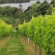 Vineyard- Dad amongst the vines.jpg