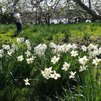 Orchard daffodils.jpg