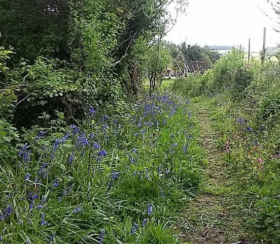 bluebells in vineyard.jpg