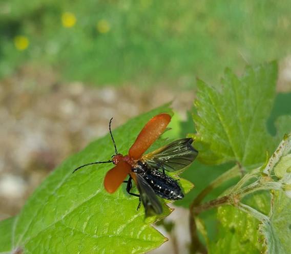 beetle with wings open.jpg