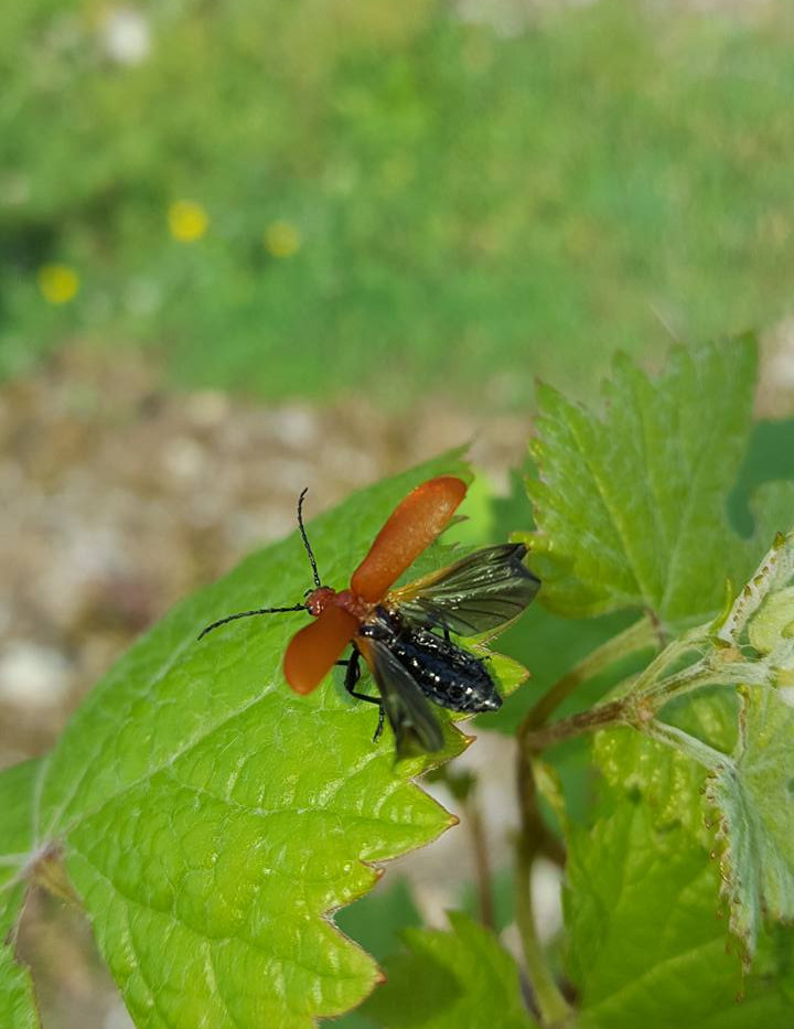 beetle with wings open.jpg