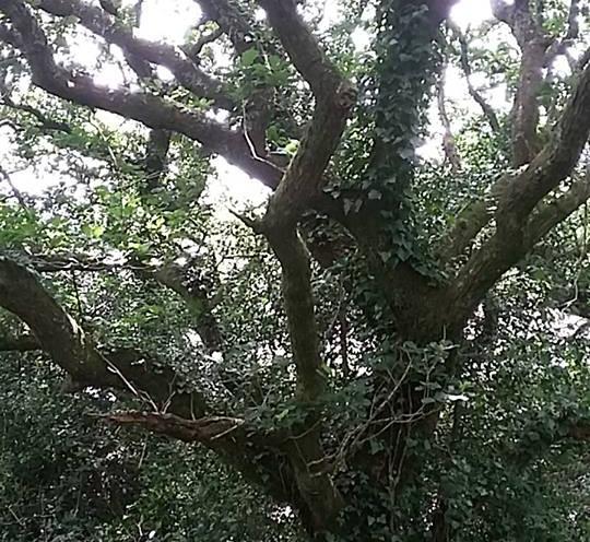 oak branches in winter.jpg