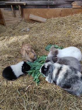 Meerschweinchen und Kaninchen