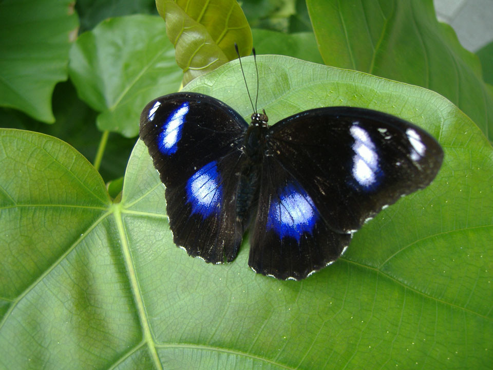 Eggfly butterfly photo by Comacontrol on Wikimedia Commons.
