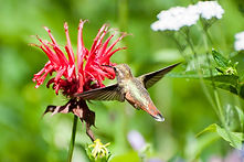 humming bird on native.jpeg
