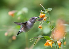 hummingbird feeding on nectar from Impat