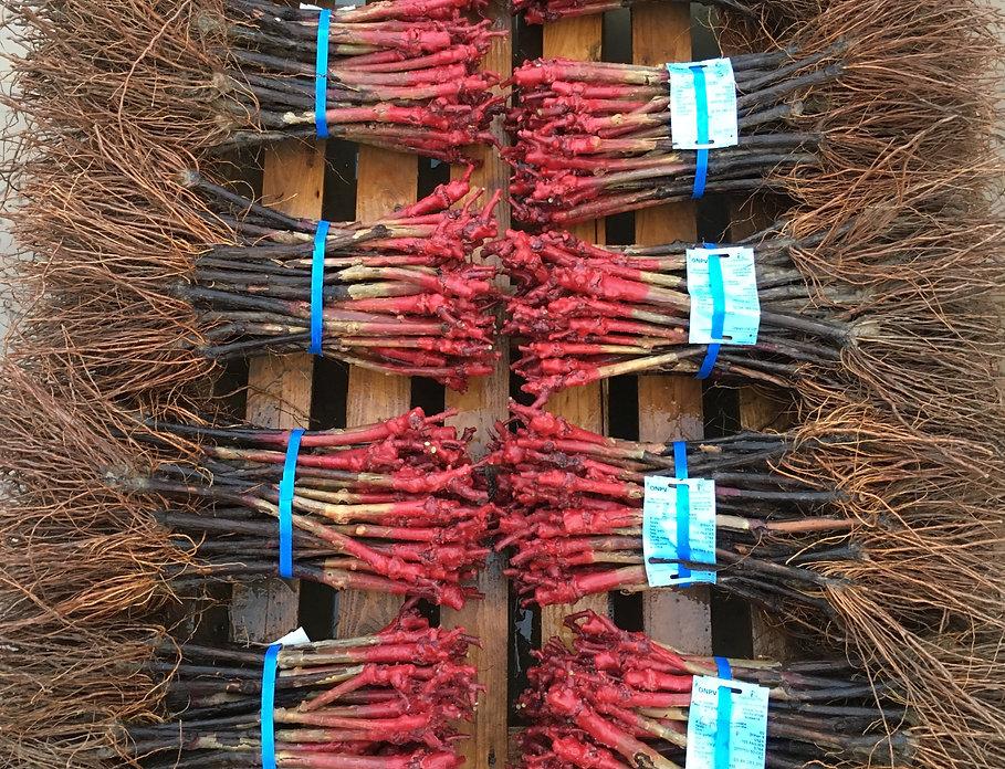 Plant de vigne certifié Vaucluse, Pépinière viticole Porée & Bente, Vente de plants de vigne greffés-soudés tous cépages et tous porte-greffes dans le Vaucluse en France. Pépiniériste viticole Vaucluse - France