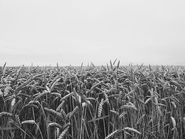 horizon-fields-cornfield-etretat-55766_e