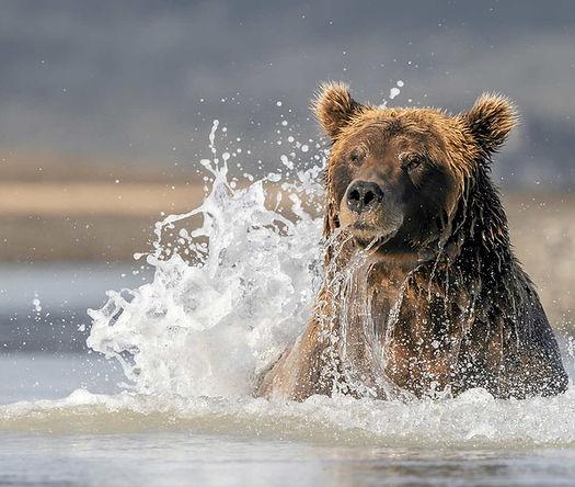Grizzly-Bear-Splash-Final_CWL1536-72dpi-