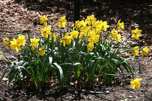 2020-Daffodils_Jean_Stringham20Jean Stri