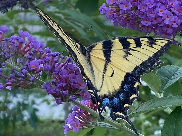 Butterfly in Garden - Allison Dolan Brooksby