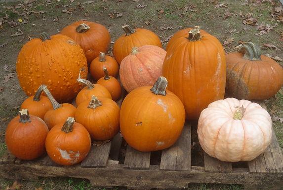 2021-10-16 Pumpkins by Jean Stringham, Lasell Village_edited.jpg