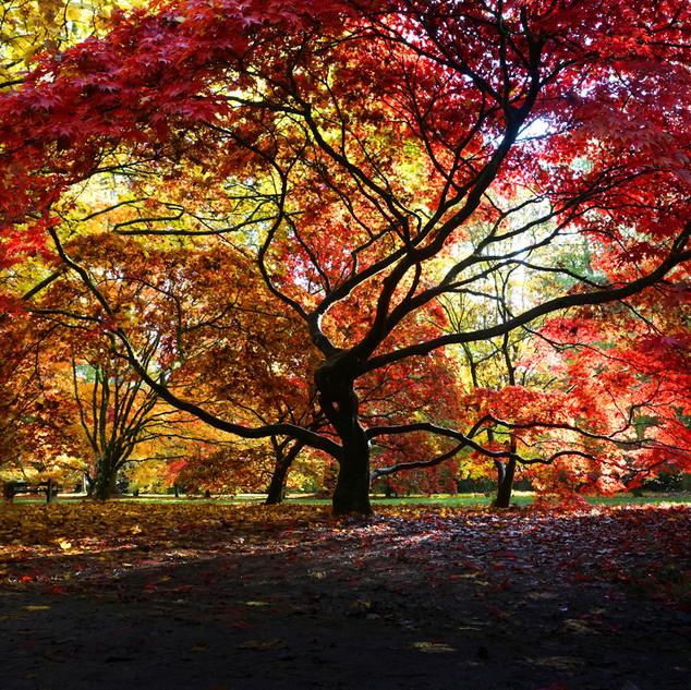 Westonbirt Acer  0343.jpg