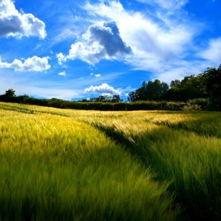 Filed of Wheat Somerset 0351.jpg