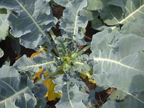 broccoli-klein