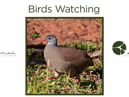 Small Billed Tinamou - birds Watching