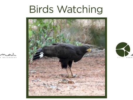 Common Black Hawk - Birds Watching