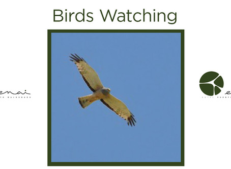 Cinereous Harrier - Birds Watching
