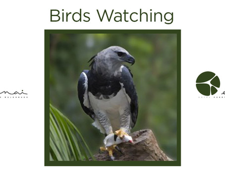 Black and Chestnut Eagle - Birds Watching