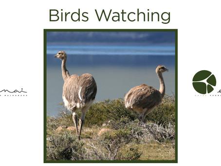 Darwin's Rhea - Birds Watching
