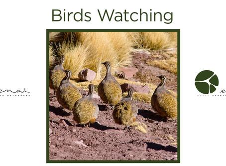Puna Tinamou - Birds Watching