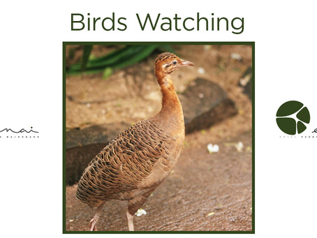 Red Winged Tinamou - Birds Watching