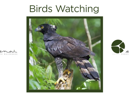 Black Hawk Eagle - Birds watching