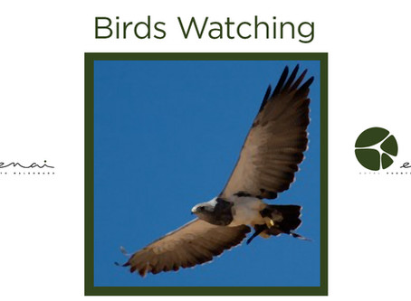 Black chested Buzzard Eagle - Birds Watching