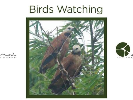 Black collared Hawk - Birds Watching
