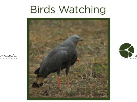 Crane hawk - Birds Watching
