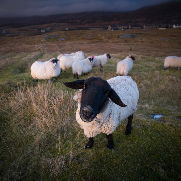 South Uist Sheep Loch Boisdale.jpg