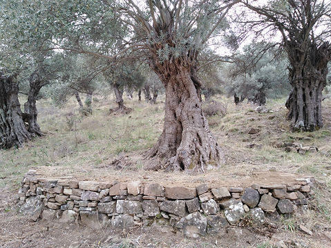 Apostolic Olive Trees with Dry Stone Wal