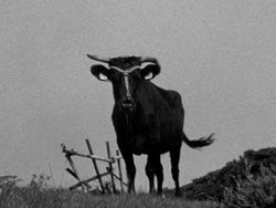 i_japanese_cattle_nobuhiro_shimura.jpg